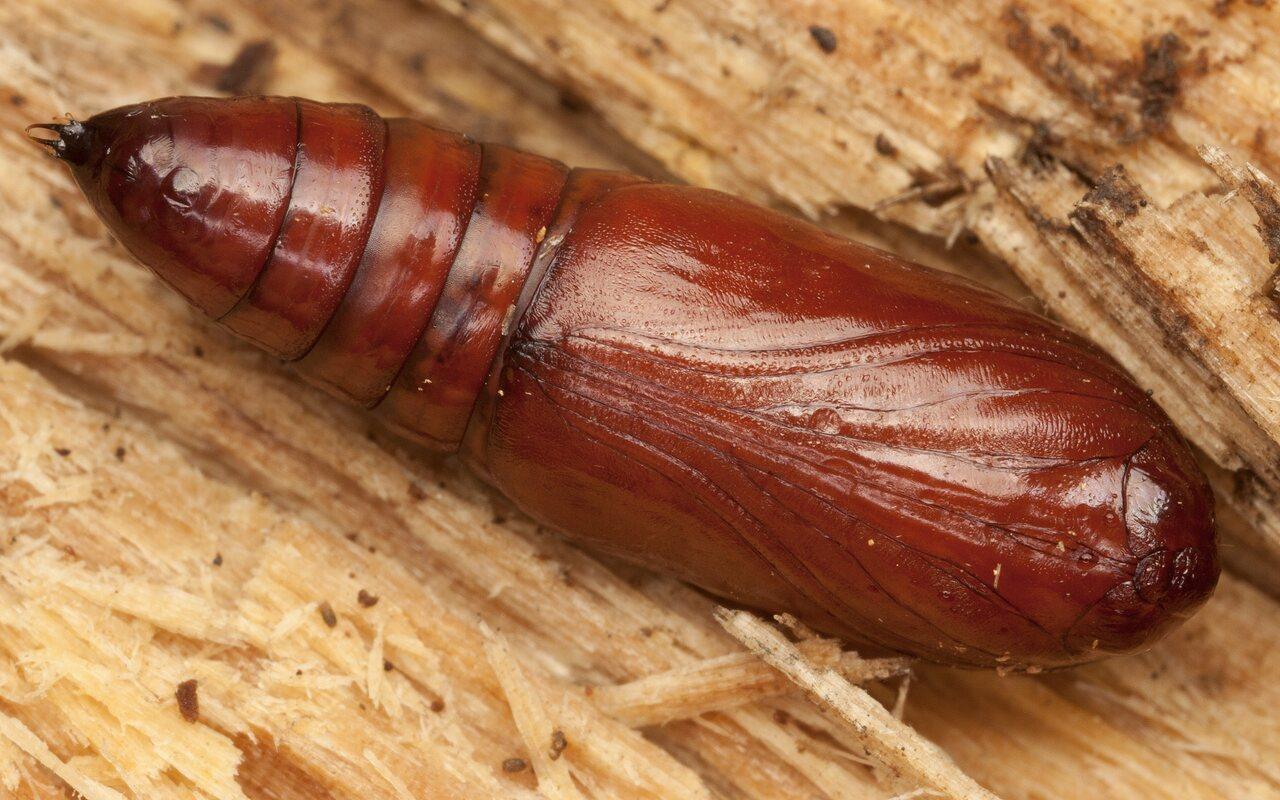 Noctuidae-3167.jpg