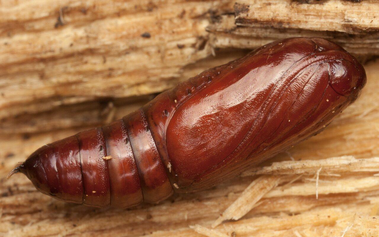 Noctuidae-3168.jpg
