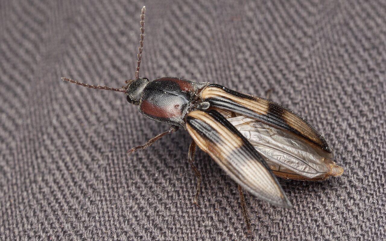 Selatosomus-cruciatus-3186.jpg