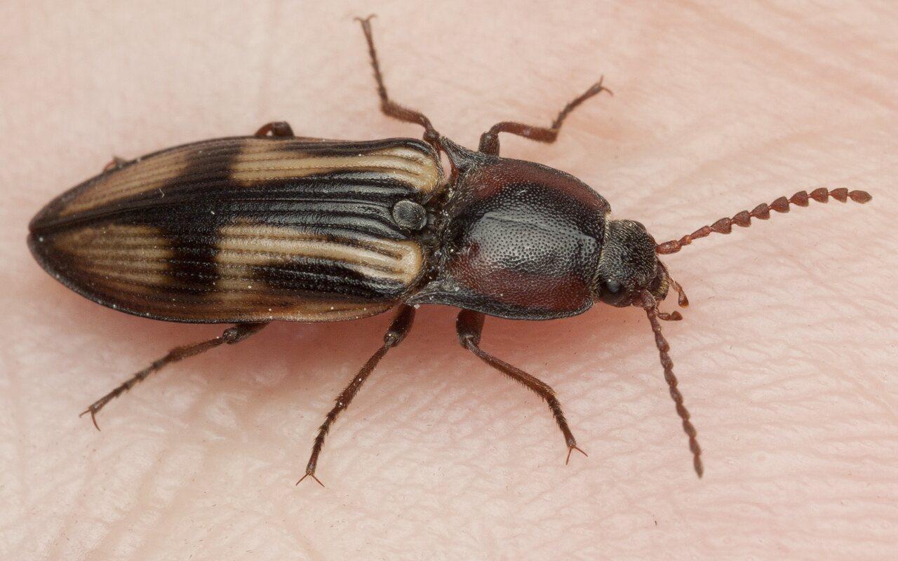 Selatosomus-cruciatus-3193.jpg