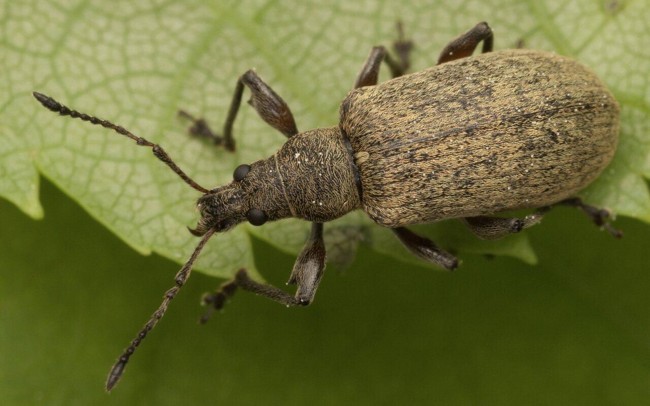 Curculionidae-3196.jpg