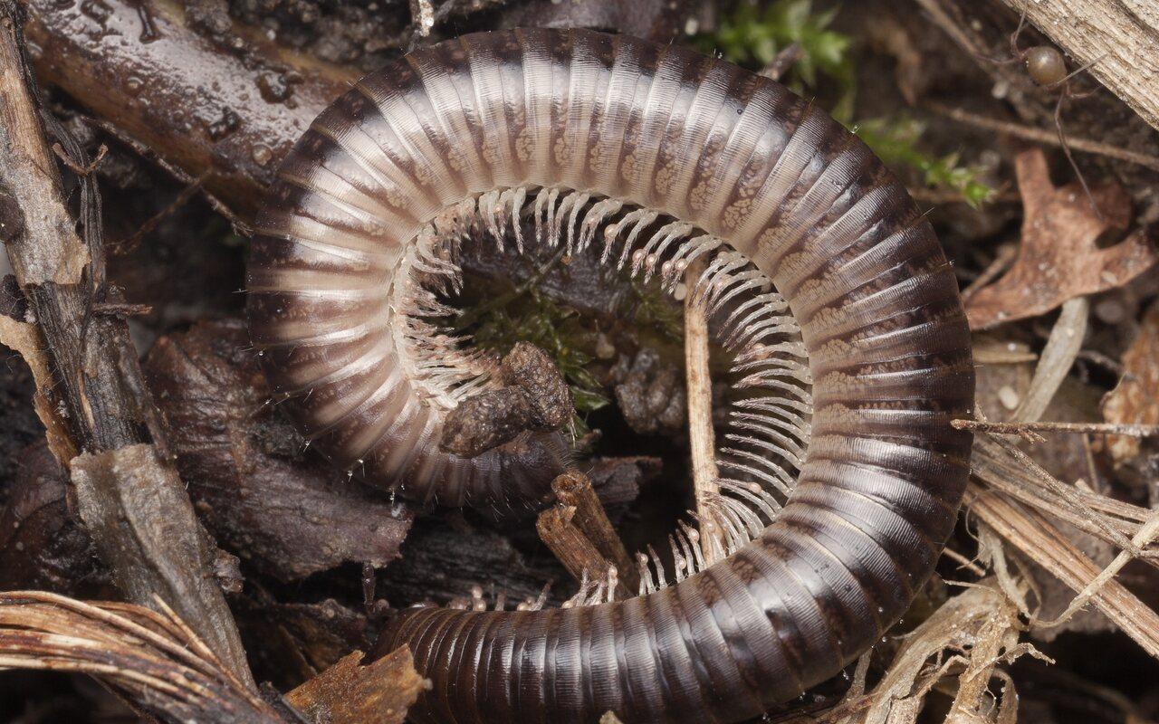 Cylindroiulus-caeruleocinctus-3197.jpg