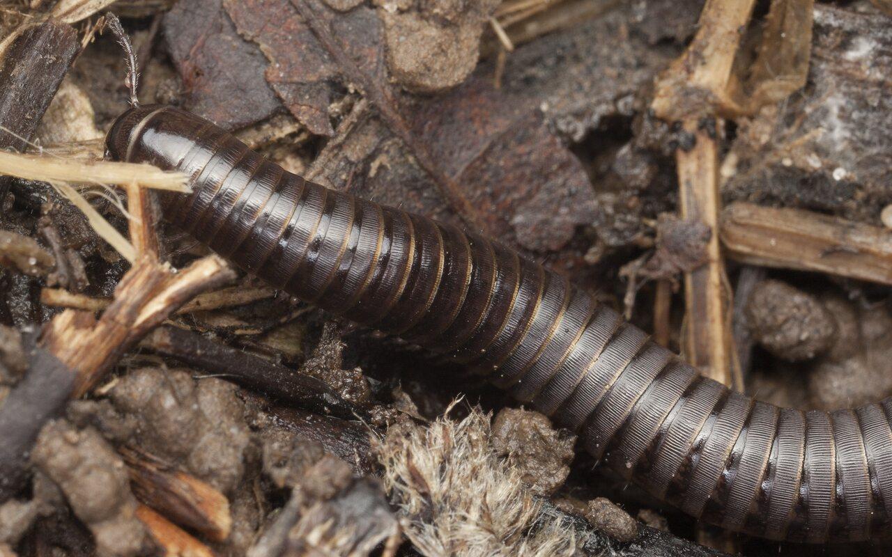 Cylindroiulus-caeruleocinctus-3198.jpg