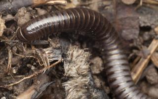 Cylindroiulus caeruleocinctus · šimtakojis dviporiakojis