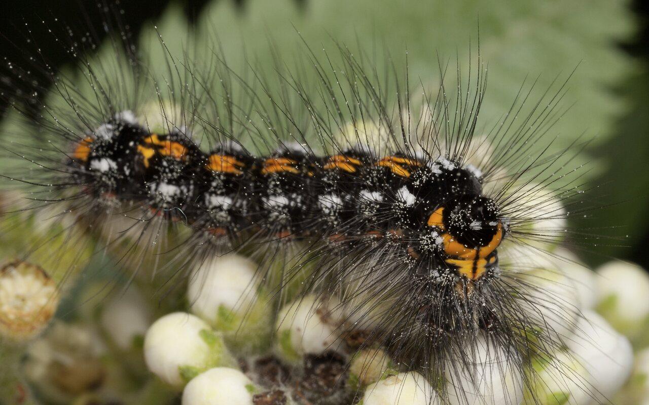 Euproctis-similis-3203.jpg