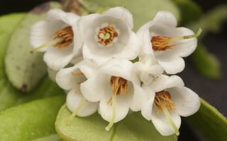 Vaccinium vitis-idaea · bruknė