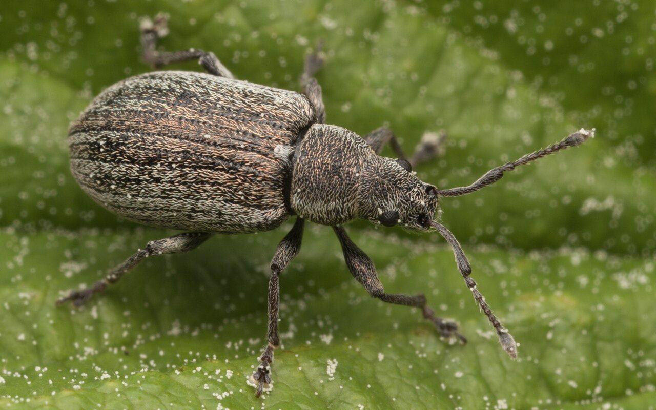 Curculionidae-3235.jpg