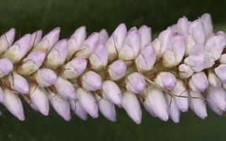 Persicaria bistorta · paprastoji gyvatžolė