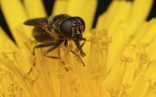 Syrphidae · žiedmusės 3239