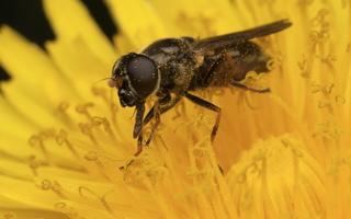 Syrphidae · žiedmusės 3240