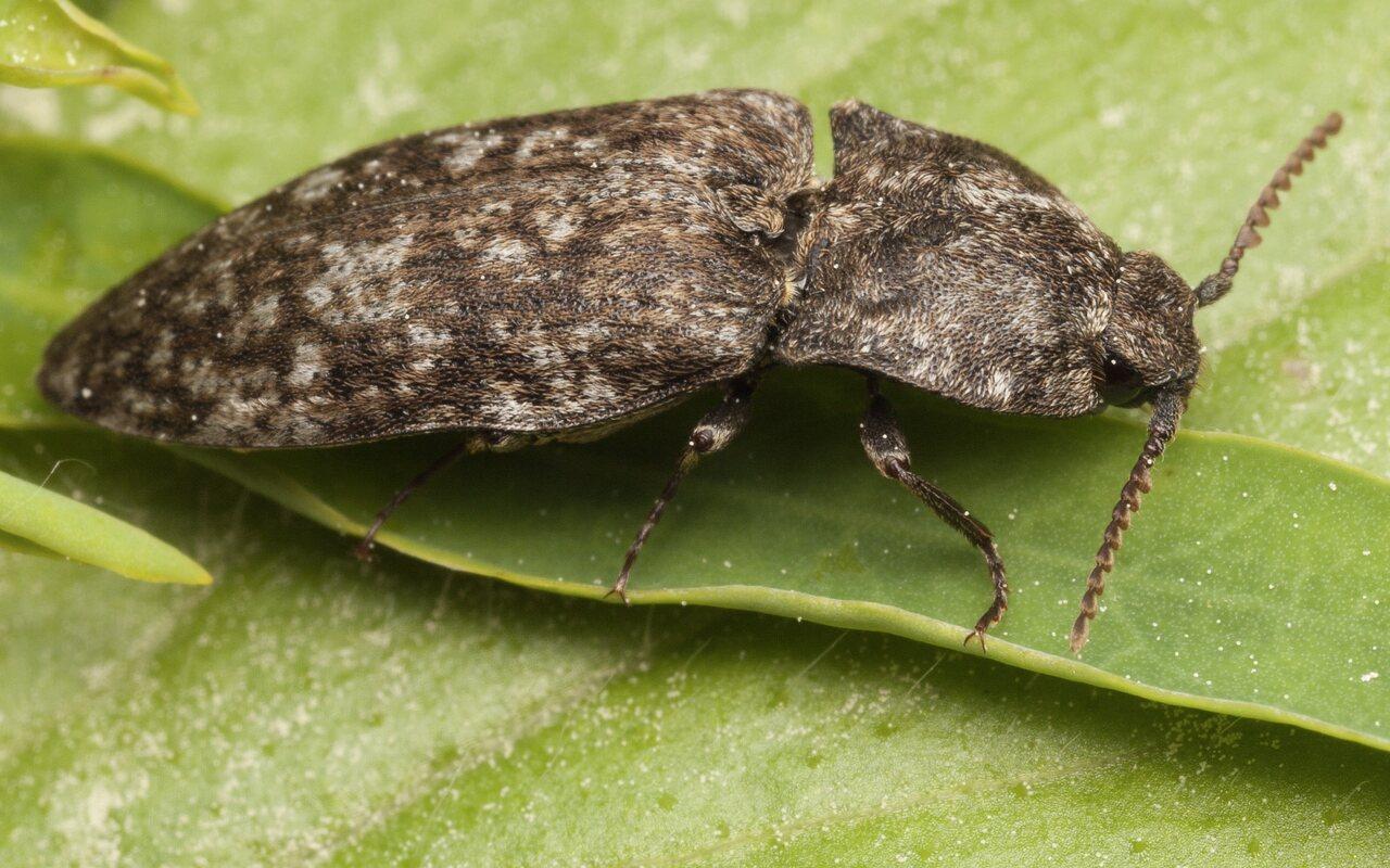 Agrypnus-murinus-3250.jpg