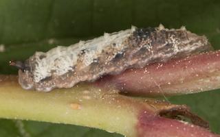 Syrphidae larva · žiedmusės lerva