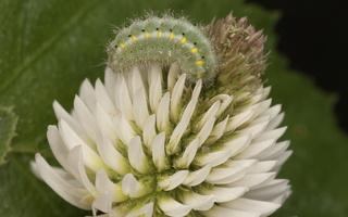 Zygaena viciae caterpillar · mažasis marguolis, vikšras