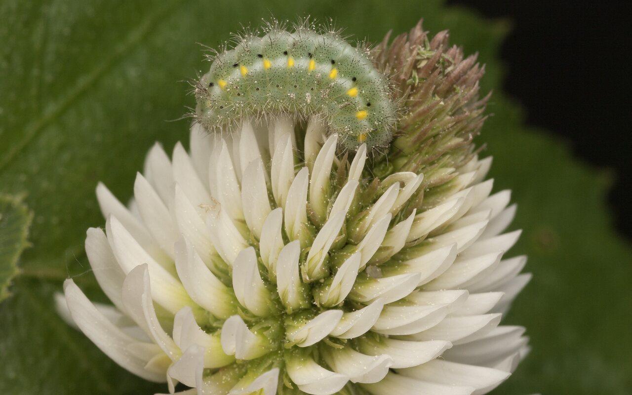Trifolium-montanum-3297.jpg