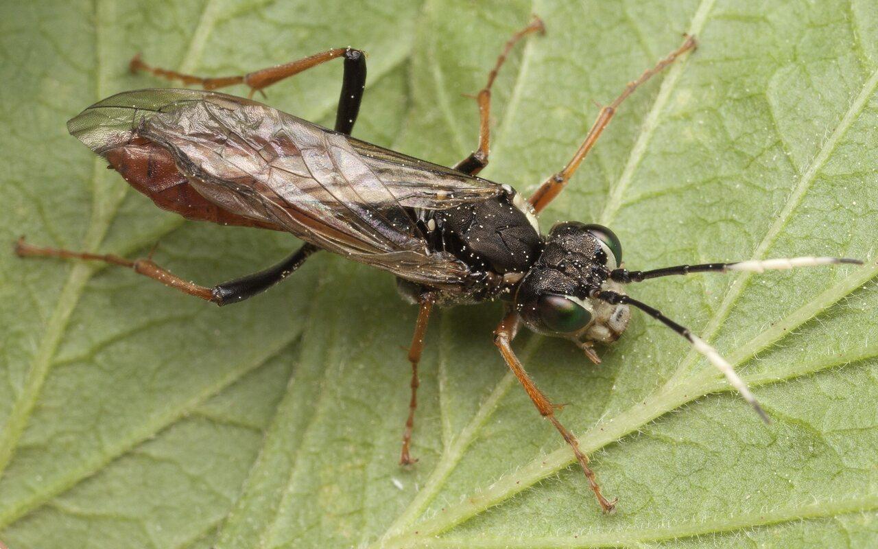 Hymenoptera-3323.jpg