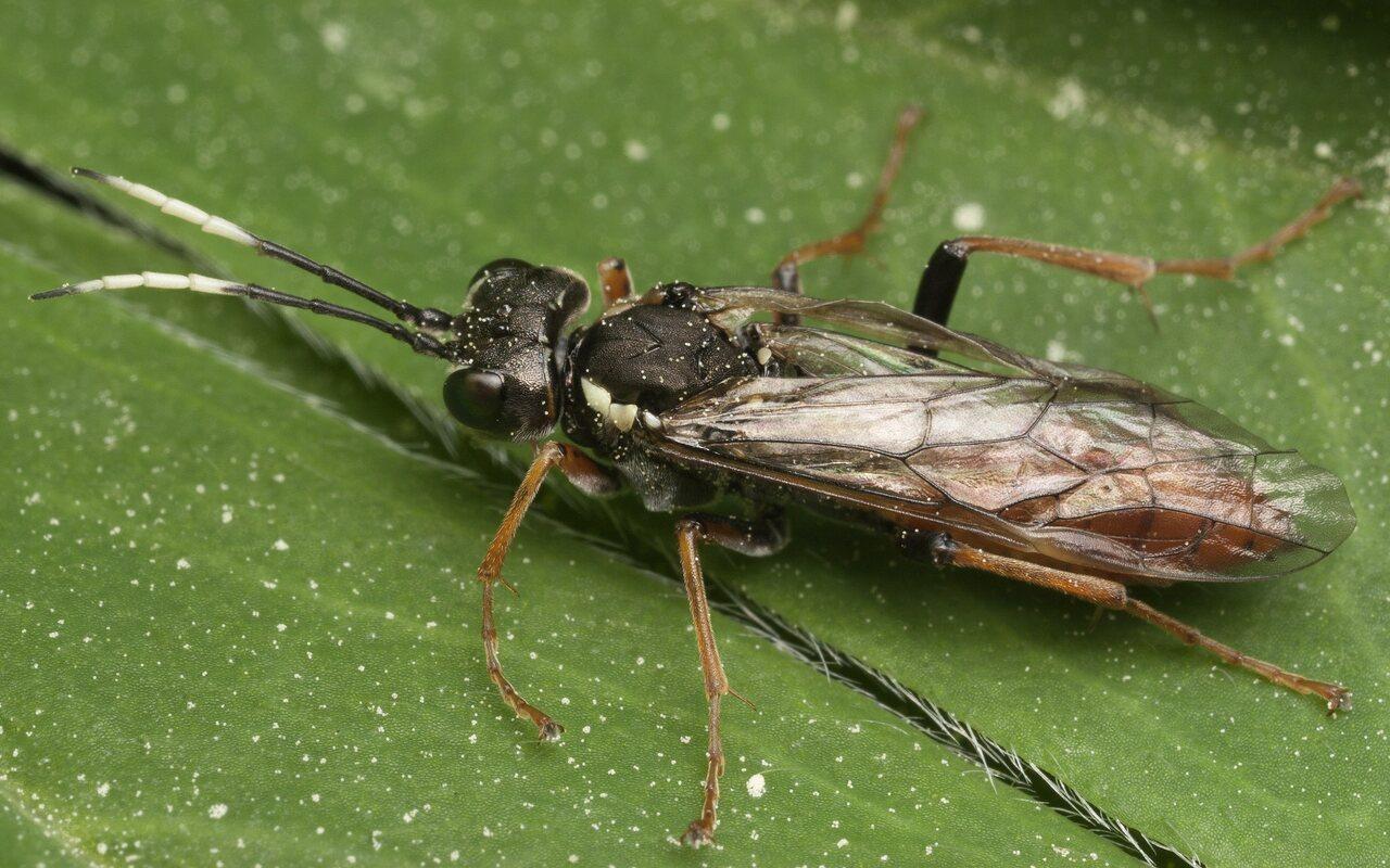 Hymenoptera-3329.jpg
