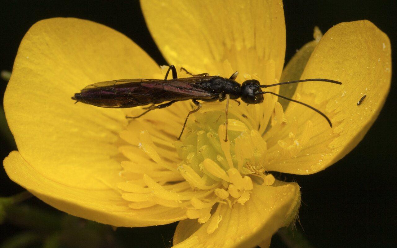 Hymenoptera-3341.jpg
