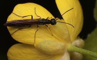 Calameuta filiformis · stiebinis pjūklelis