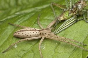 Tibellus oblongus · ilgapilvis laibavoris