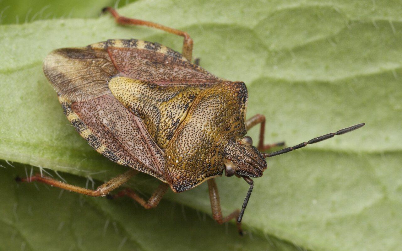 Carpocoris-pudicus-3354.jpg