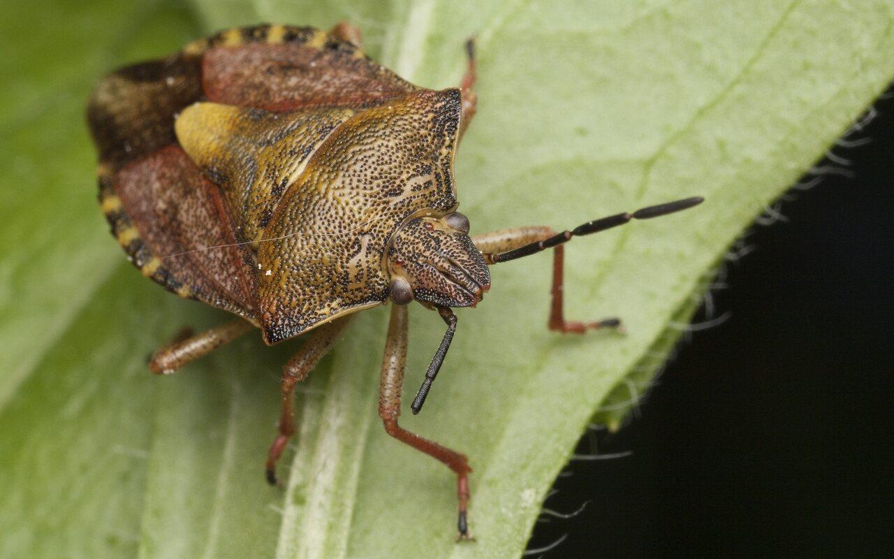 Carpocoris-pudicus-3355.jpg