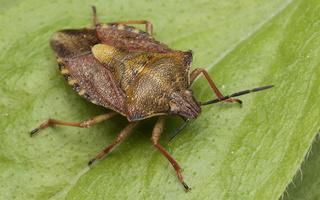 Pentatomidae · tikrosios skydblakės