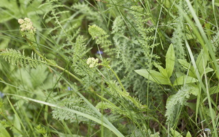 Achillea millefolium · paprastoji kraujažolė