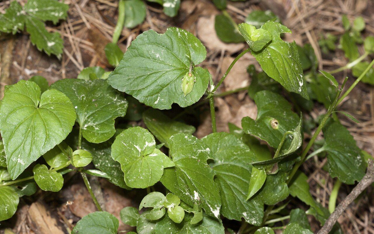 Viola-reichenbachiana-3383.jpg