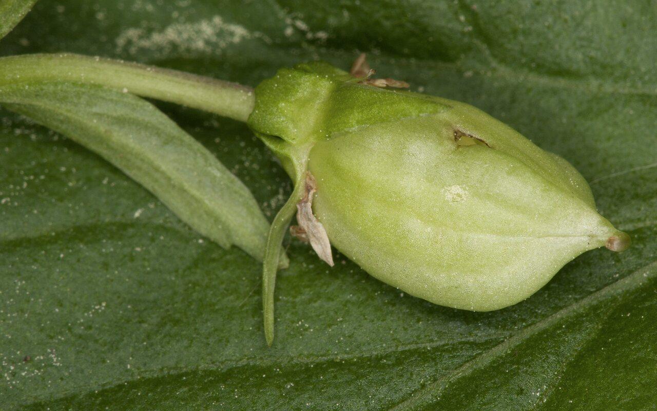 Viola-reichenbachiana-3385.jpg