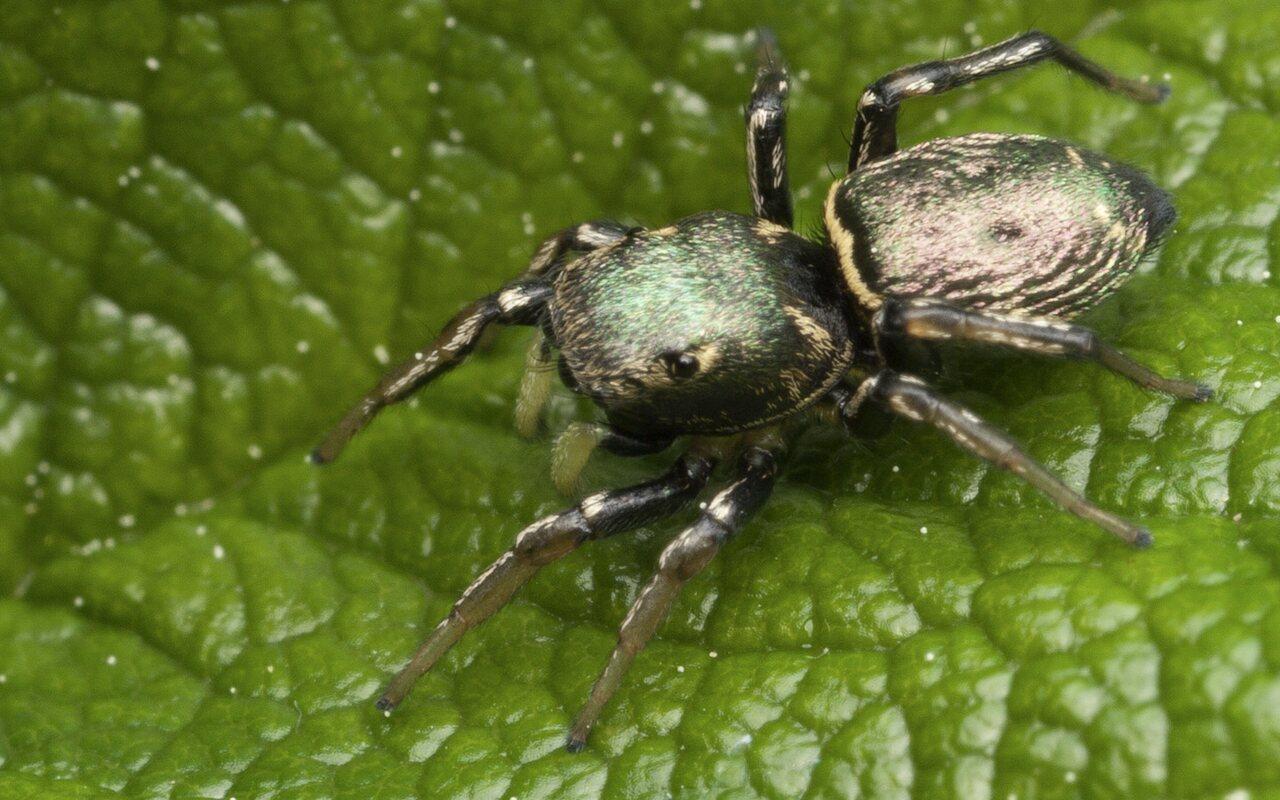 Heliophanus-auratus-3392.jpg