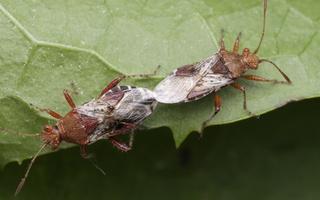 Rhopalus subrufus copula · dryžapilvė kampuotblakė poruojasi