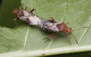 Rhopalus subrufus · dryžapilvė kampuotblakė