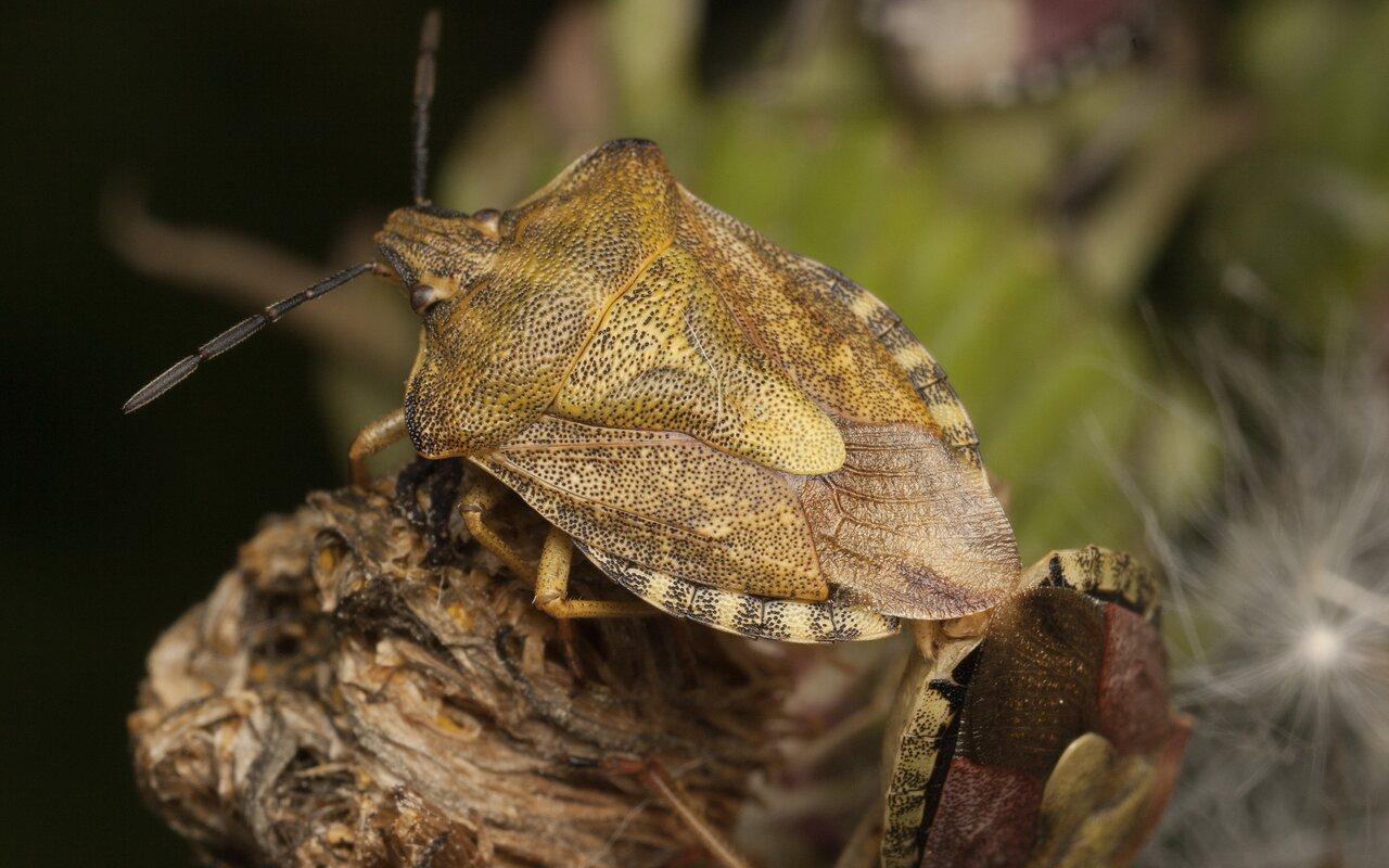 Carpocoris-pudicus-3397.jpg