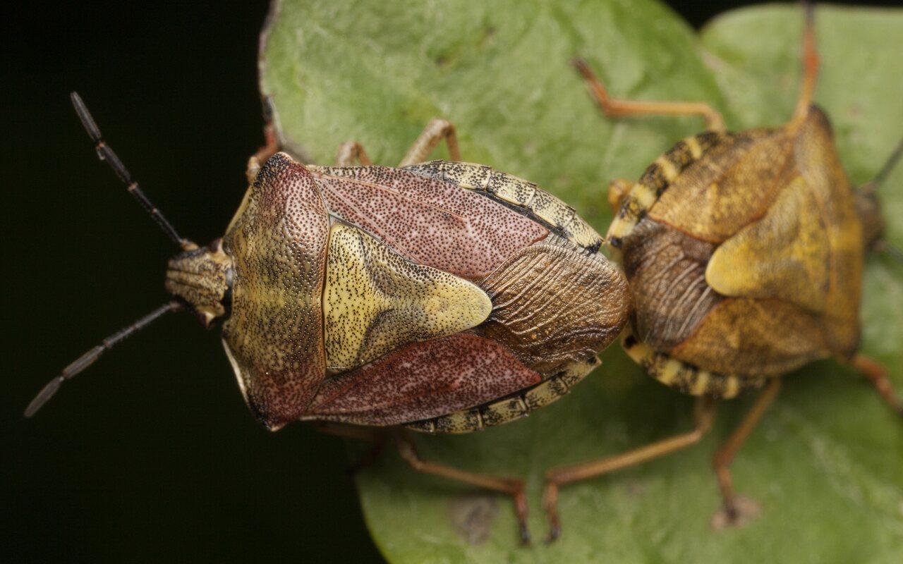 Carpocoris-pudicus-3399.jpg