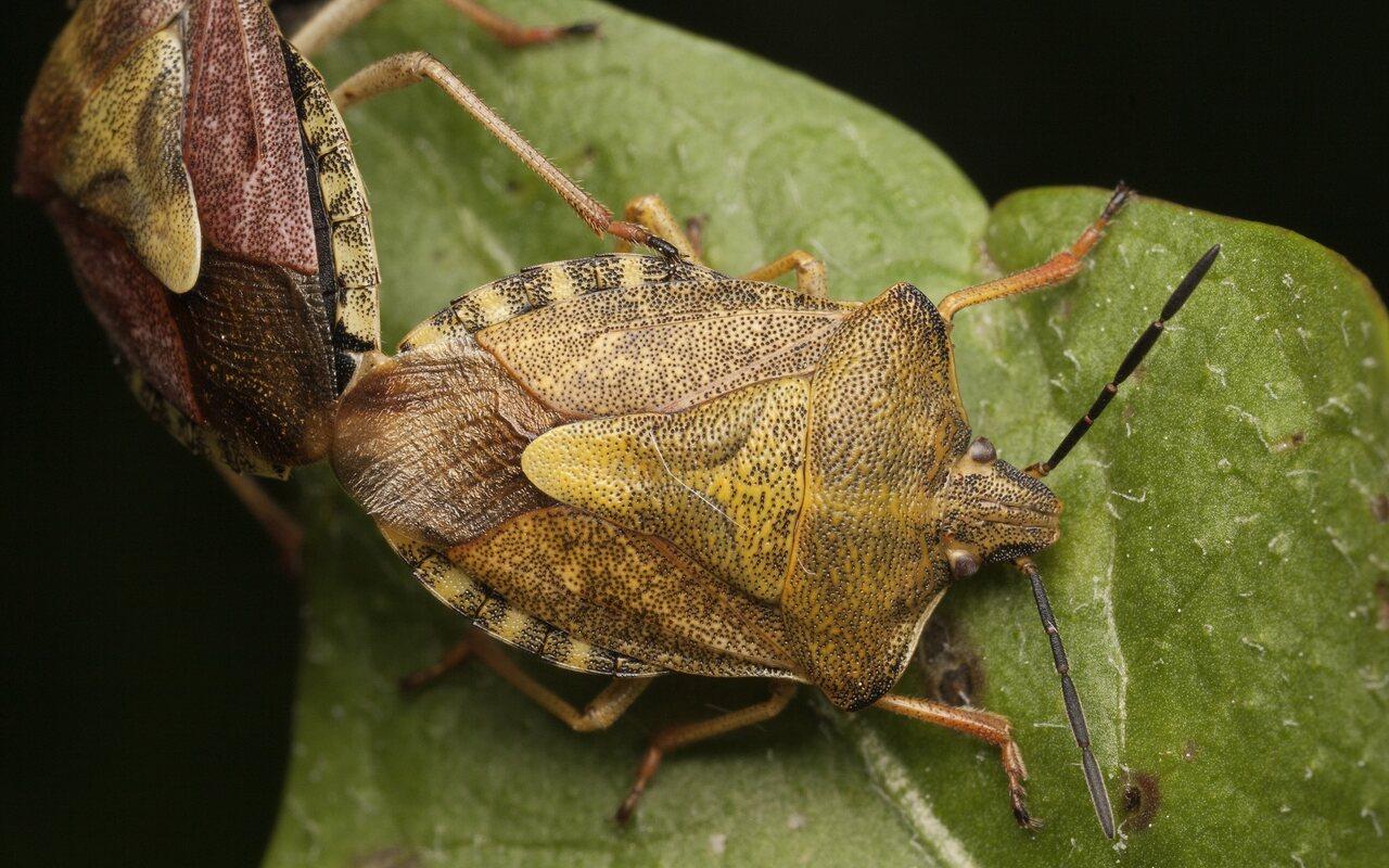 Carpocoris-pudicus-3400.jpg