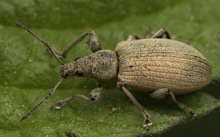 Phyllobius pyri · kriaušinis lapinukas