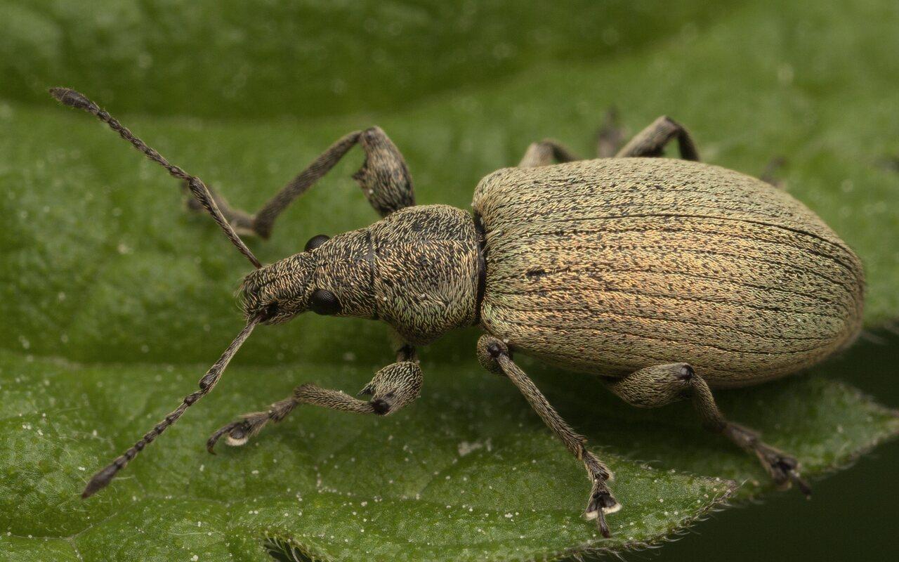 Curculionidae-3404.jpg