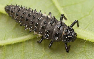 Coccinellidae larva · boružės lerva