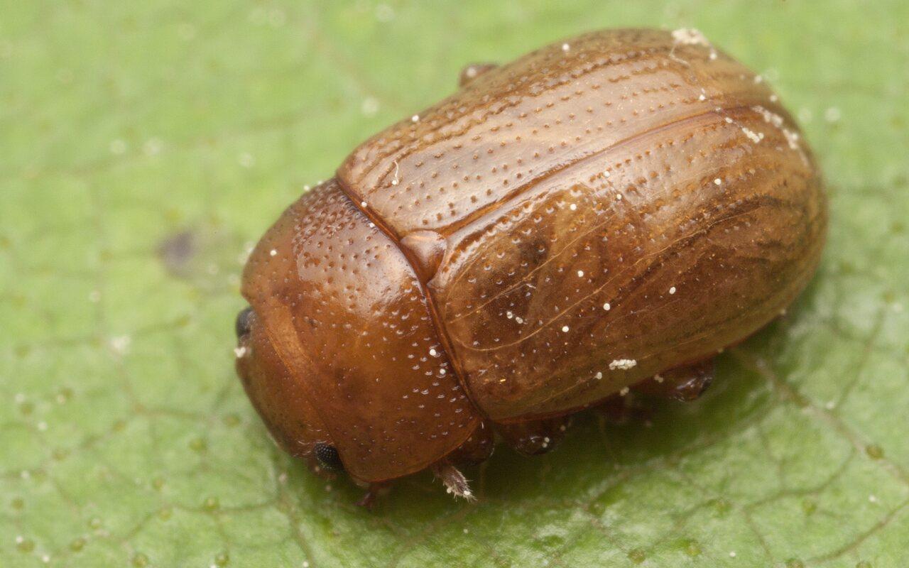 Gonioctena-pallida-3434.jpg