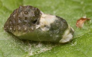 Satyrium pruni pupa · slyvinis uodeguotis, lėliukė