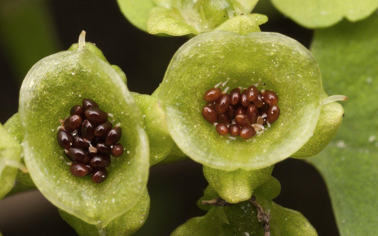 Chrysosplenium-alternifolium-3440.jpg