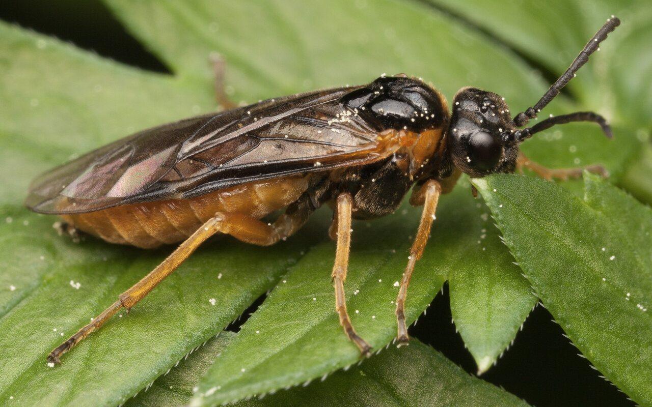 Hymenoptera-3451.jpg