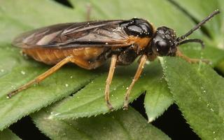 Selandria serva · pjūklelis