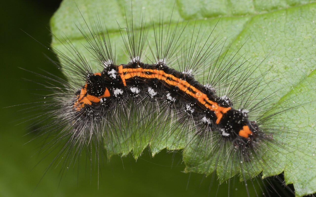 Euproctis-similis-3454.jpg