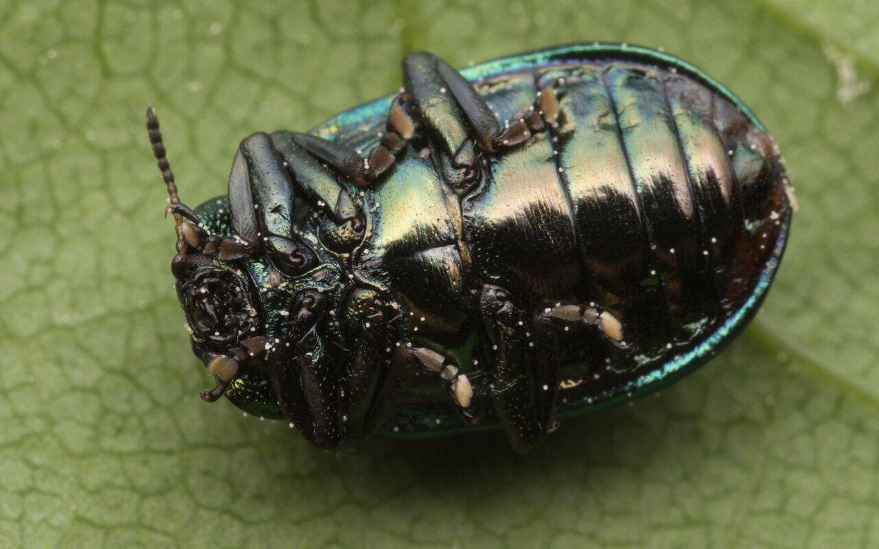 Plagiosterna-aenea-3476.jpg