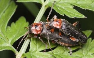 Cantharis rustica mating · raudonkojis minkštavabalis poruojasi