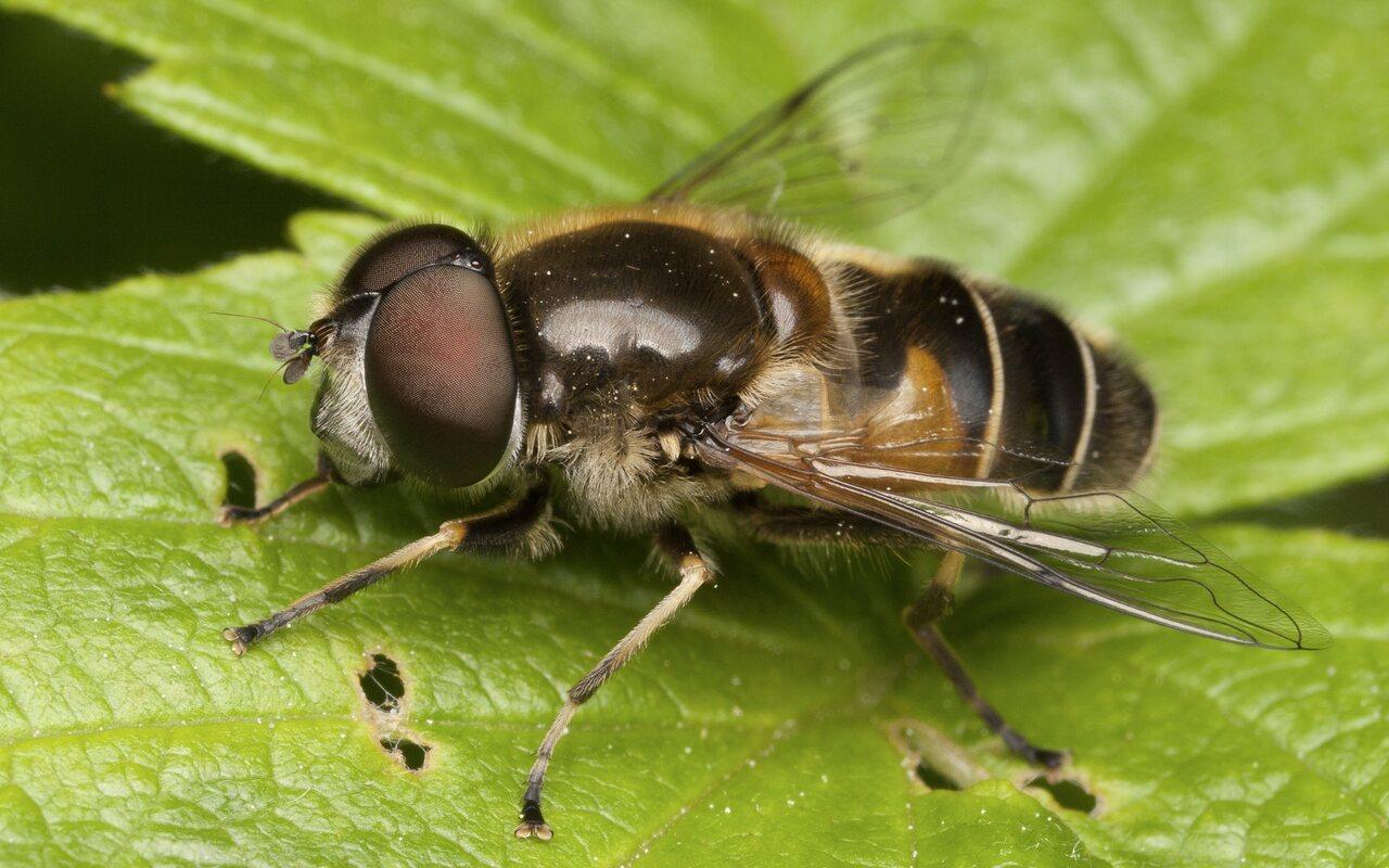 Syrphidae-3491.jpg