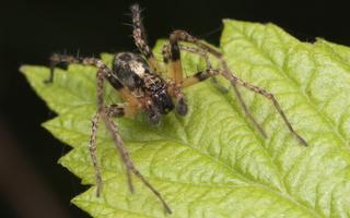 Anyphaena accentuata male · miškinis gležnavoris ♂