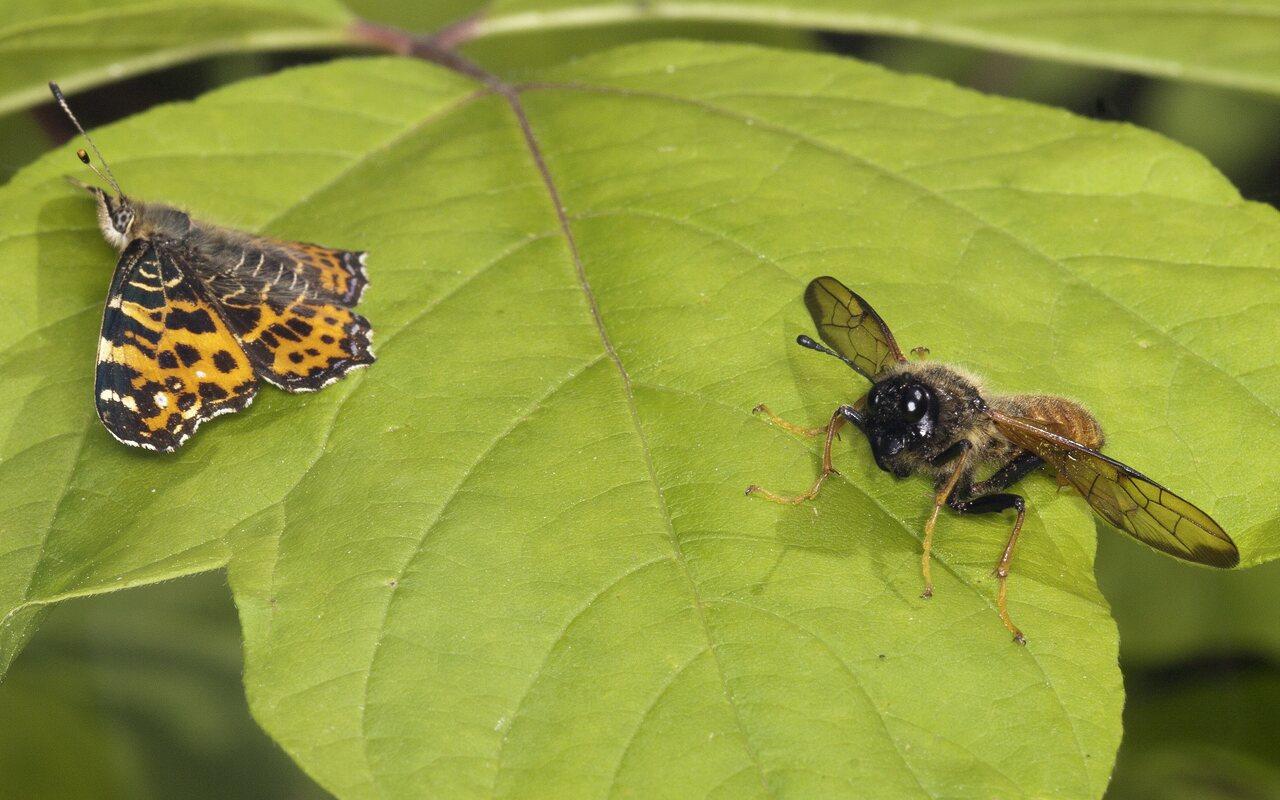 Lepidoptera-3503.jpg