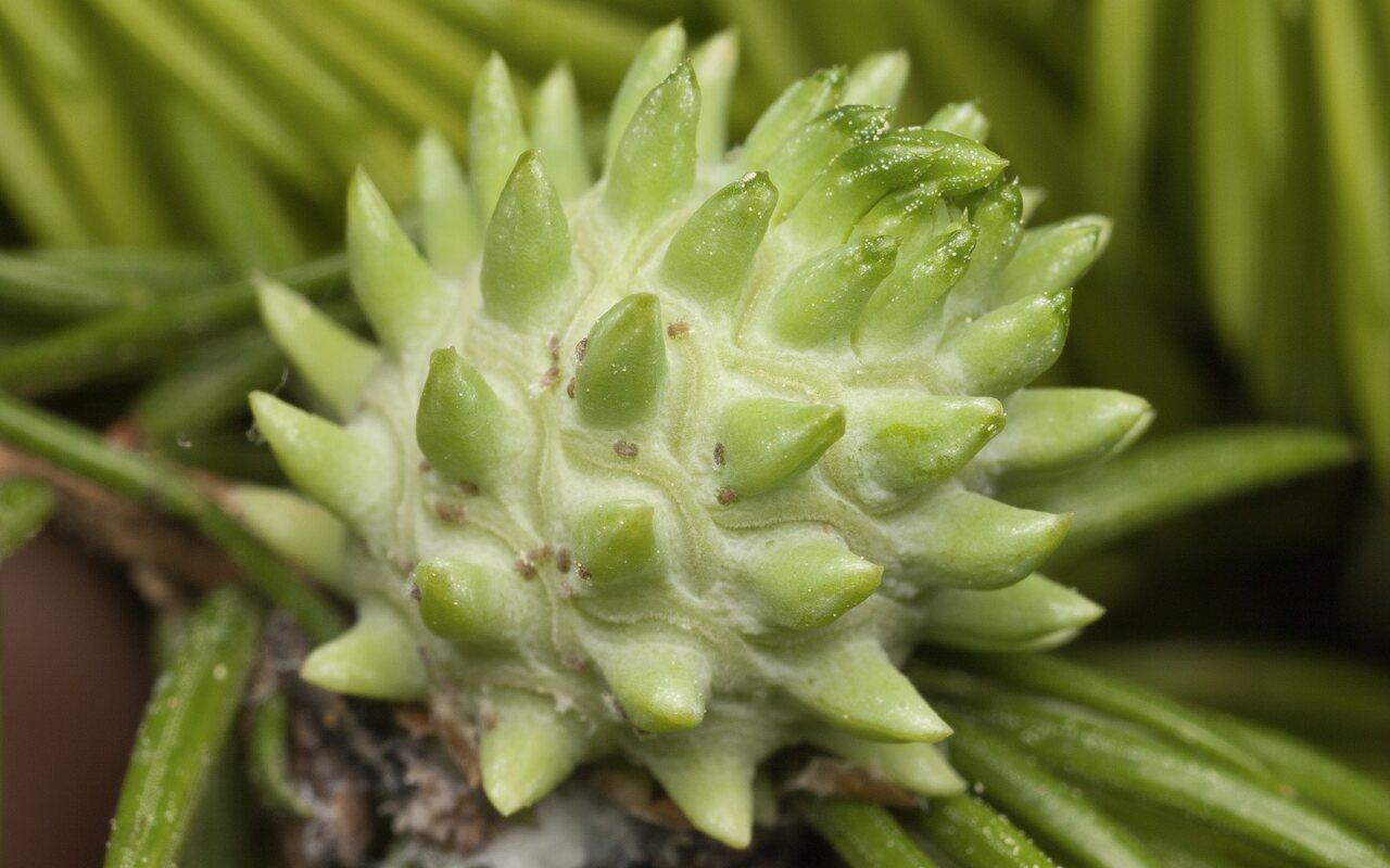 Picea-abies-3536.jpg